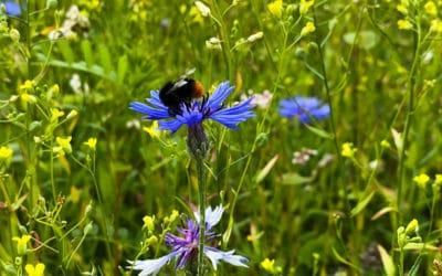 Unsere Wildblumenwiese: Es summt und brummt am Studio